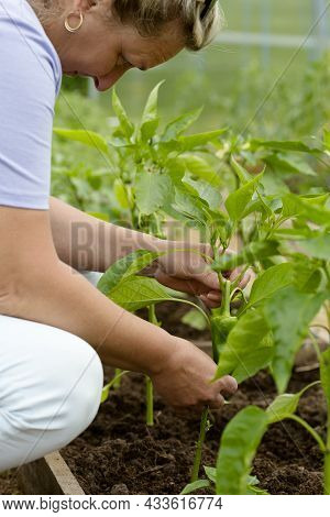 Farmer Woman Inspects The Leaves Of Peppers In The Greenhouse. Checking Tomato Seedlings In The Gree