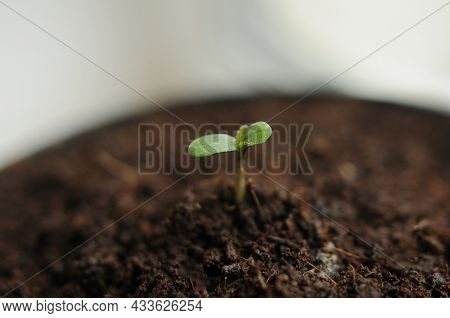Cannabis Sprout Close-up Isolated In Soil Background. Fresh Young Marijuana Seedling. Baby Hemp With