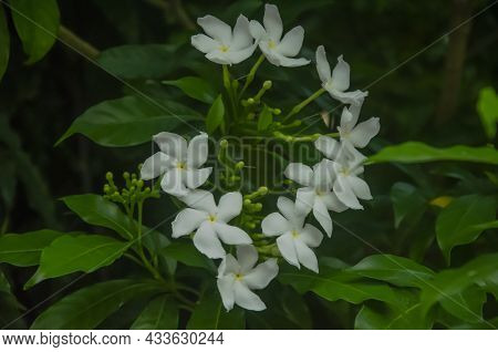 Close Up Of Crepe Jasmine Plant With Flowers And Buds And Green Leaves Isolated With Blur Background