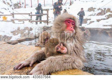 Tokyo, Japan - January 3, 2010: Tourists Taking Photo Of Snow Monkeys In Jigokudani Monkey Park In J