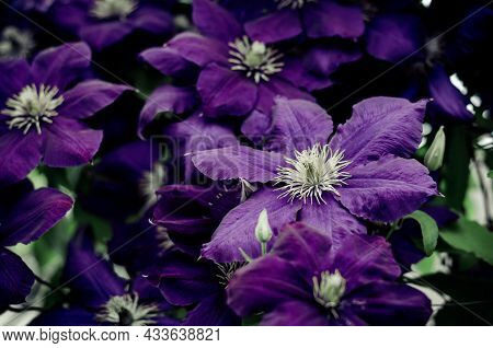 Close-up Of Clematis Flowers. Beautiful Flower Background