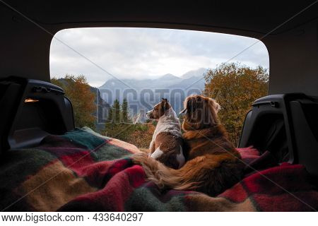 Two Dogs In The Car In The Trunk. Pets On A Journey. Jack Russell Terrier And Nova Scotia Duck Retri