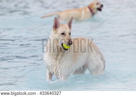 White Mixed Breed Dog In The Water At A Swimming Pool With A Ball