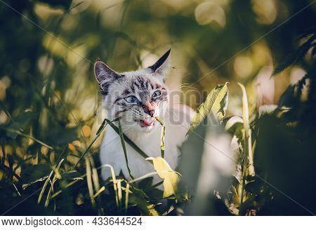 Portrait Of A Thai Cat In Nature. A Thai Cat Walks In The Leaves. A Lost Cat With A Striped Muzzle.
