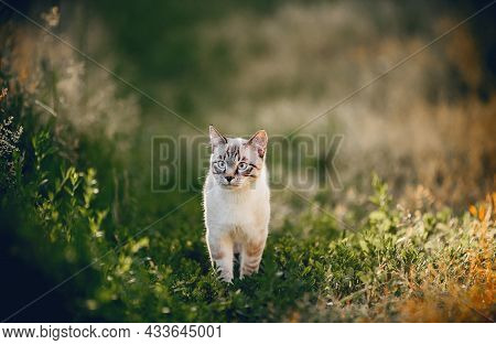A Thai Cat Walks In The Grass. A Lost Cat With A Striped Muzzle. A Cute Tabby Thai Kitten Walks In T
