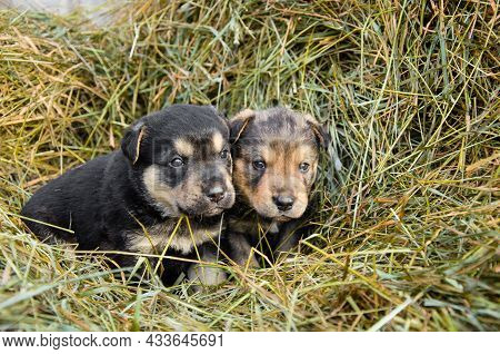 Two Abandoned Puppies Sit In A Haystack. Lonely Puppies. Puppies Looking For A Home.