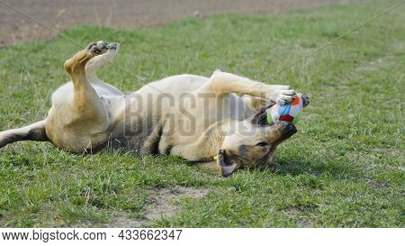 Big Dog With A Ball. Dog Lying On The Grass. Red-haired A Large Dog Holds A Ball In His Mouth, Lying