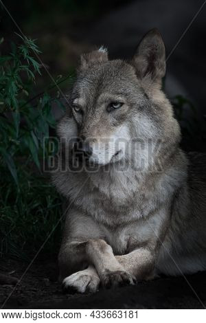 Portrait Of A Beautiful Female Wolf In A Half Turn Large, Looks Skeptically Appraising, A Dark Backg