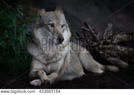 The Calm Confidence Of A She-wolf Sitting Regally On The Ground In The Dark Against The Background O