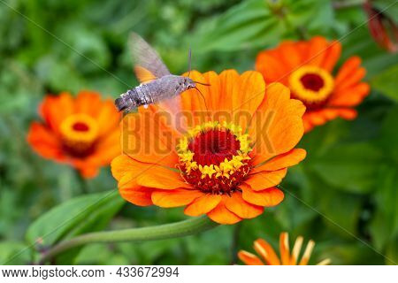 The Orange Flowers Of Zinnia Are Pollinated By The Hawk Moth. Growing Flowers And Gardening.