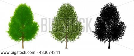 Set or collection of Black Poplar trees, painted, natural and as black silhouette on white background. Concept or conceptual 3d illustration for nature ecology and conservation, strength or endurance