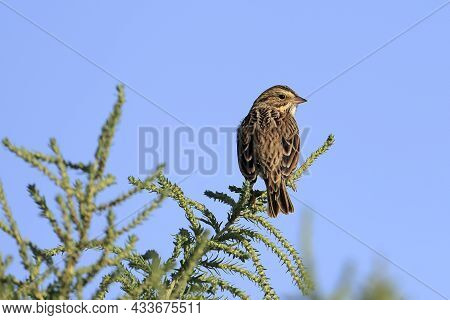 A Small Lincoln Sparrow Is Perched On A Small Green Twig In The Saltese Flats Area Of Liberty Lake,