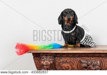Cute Dachshund Puppy In Maid Uniform With Apron Sits On Wooden Surface, Feather Duster For Cleaning