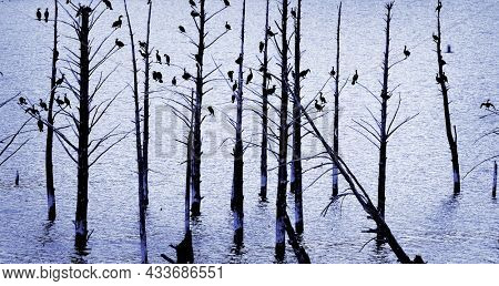 Many birds wood ducks perched on trees silhouetted near lake water