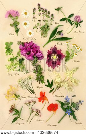Flowers and herbs used in alternative herbal plant medicine remedies. Nature study details with plant descriptions in text. Natural health care concept. Top view, on cream background.