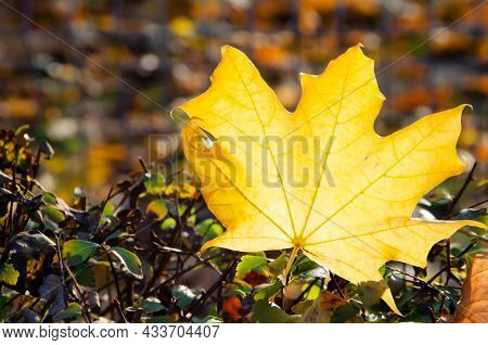 Autumn Composition. Close-up Yellow Maple Leaf On Blurred Background Of Colorful Foliage. Autumn Bac