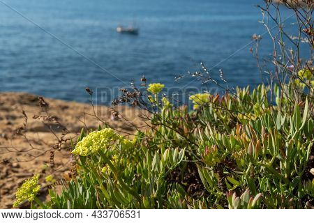 Close-up Of The Mediterranean Sea Fennel Plant, Crithmum Maritimum, With Yellow Flowers And In The B
