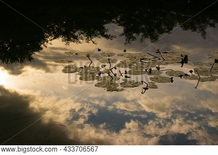 Reflection Clouds In A Pond With Nuphar Lutea The Yellow Water-lily, Brandy-bottle, Or Spadderdock,