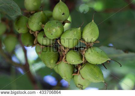 Detail Fruits Of Paulownia Tomentosa, Common Names Princess Tree, Empress Tree Or Foxglove-tree