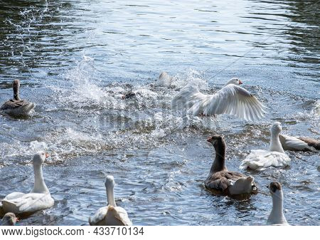 Gray Geese Swimming In The Water. Domestic Geese Swimming