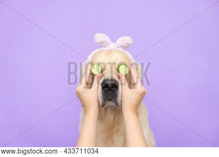 Cute Golden Retriever Sitting Relaxed After Spa Treatments On A Purple Background With Cucumbers On