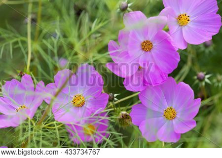 Flowers Pink Cosmos On A Background Of Green Grass.