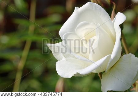 White Rose Flower, Rosa Species Of Unknown Variety, In Close Up With A Background Of Blurred Leaves.