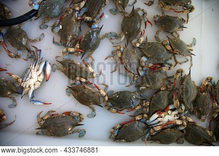Live blue crab. Flower crab. Blue swimmer . Blue manna crab. Sand crab. Portunus pelagicus. stack of fresh blue swimming crabs in seafood market. Seafood fresh background.