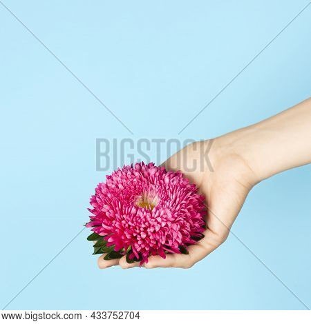 Hand Holding Pink Aster Flower Head Isolated On Blue Background. Autumn Flowers. Asters Symbolize Lo