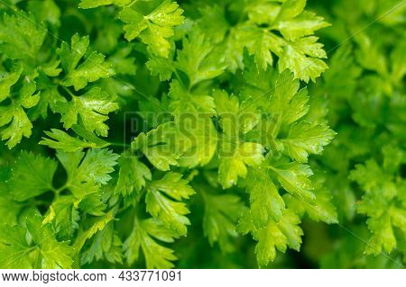 Parsley Growing, Close-up Of Parsley Leaves Growing In The Garden