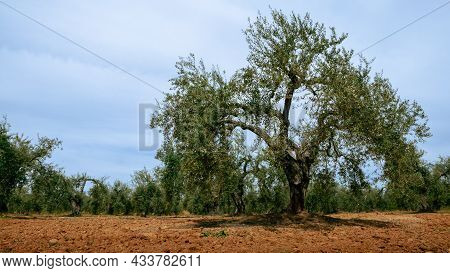 Harvested Fresh Olives In A Field For Olive Oil Production At Spain Country