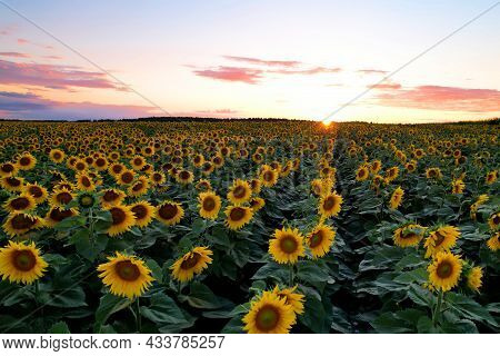 Sunflowers Field On Sunset. Harvesting Sunflower Seeds In Agriculture. Huge Yellow Flowers On Summer