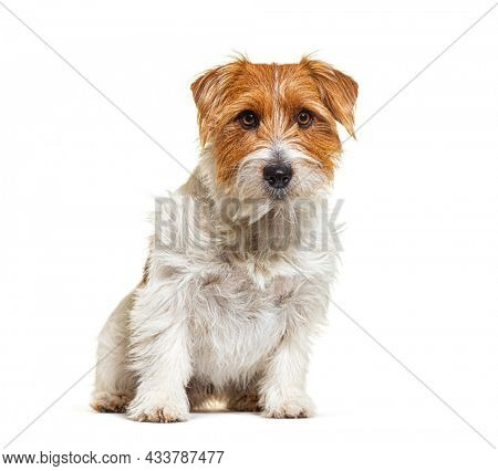 Mixed breed dog with jack russel terrier, sitting, isolated on white