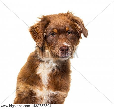 Head shot brown Australian shepherd dog looking at camera, isolated on white