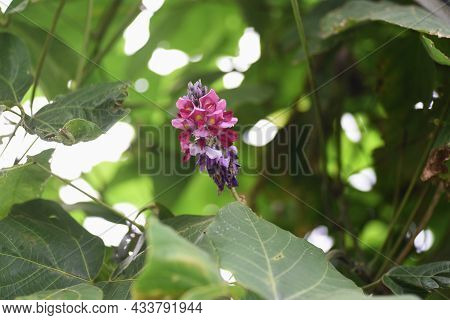 Kudzu Flowers. Kudzu Is A Fabaceae Perennial Vine Plant That Uses Roots As Ingredients And Crude Dru