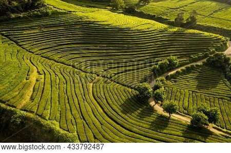 Amazing Aerial Scenery Of Vast Agricultural Tea Fields With Rows Of Green Plants Forming Curvy Patte