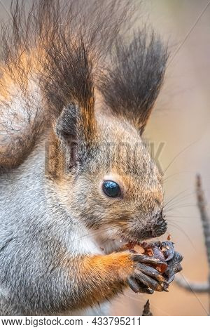 The Squirrel With Nut Sits On Tree In The Winter Or Autumn. Eurasian Red Squirrel, Sciurus Vulgaris.