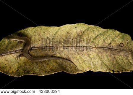 Long-tailed Sun Skink Resting On Mango Tree Leaf