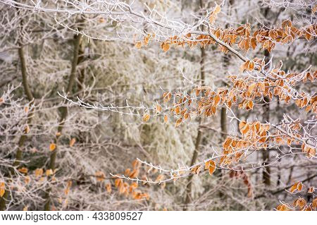 Frozen Leaves On The Branch. Beautiful Nature Background In Winter