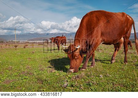 Herd Of Cows On A Summer Green Field