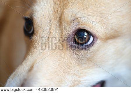 Muzzle And Brown Eyes Of Welsh Corgi Dog Closeup