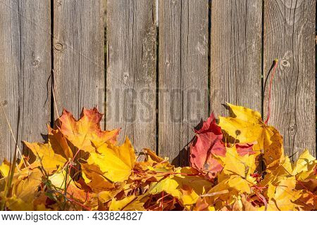 Maple Leaves Are Lying By The Fence. Wooden Fence, Golden Leaves. The Season Of Autumn Leaf Fall. Au