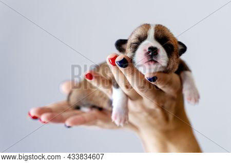 Cutest Little Ginger And White Welsh Corgi Pembroke Puppy Sleaping In Human Hands. Routine Of Dog Br