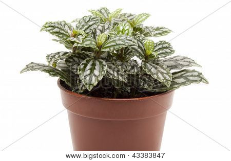 Pylaia Cadieux (Pilea cadieri Gadnep. Et Guill) in a flower pot on a white background. poster