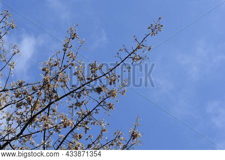 Boxelder Maple Branches With Seed - Latin Name - Acer Negundo