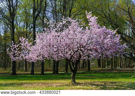 Nice Amazing Spring Time Cherry Blossom Tree Background, Spring Time Sunny Gorgeous Day In Garden