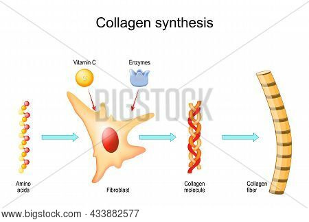 Collagen Synthesis With Vitamin C And Enzymes. From Fibroblast And Amino Acids To Collagen Fiber Tha