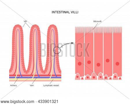 Intestinal Villi In The Surface Area Of Intestinal Walls. Folds, Villus, Microvilli, Epithelial And