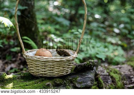 Birch Bolete In A Wicker Basket In The Forest. Mushrooms In The Basket. Autumn Mushrooms. Cooking De