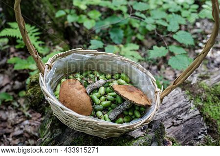 Birch Bolete And Actinidia Kolomikta Berries In A Wicker Basket In The Forest, Close - Up View From